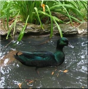 Looking for a DRAKE Black East Indie Duck