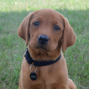 Fox Red Lab | Adopt Dogs & Puppies Locally in Ontario | Kijiji