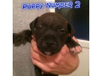 LAST REMAINING GORGEOUS MALE STAFFIE PUPPIES