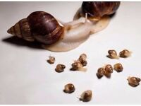 3 african land snails