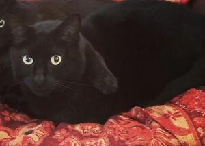 Lost black cat Armdale/Fairmount