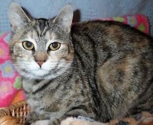 "Baby Female Cat - Torbie-Domestic Short Hair: ""Daisy"""