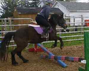 Haflinger cross gelding available for part board  London Ontario image 3