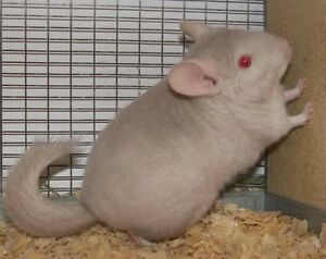 Baby chinchillas cheap!! Get them before they all get sold out!