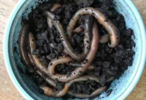 Red Wiggler Composting worms for sale