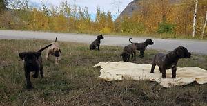 English Mastiffs - CKC Registered Puppies