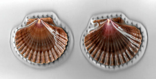 PINE NEEDLE BASKET BOTTOM - 2 SCALLOP SHELLS - SET IN RESIN - HAND CRAFTED