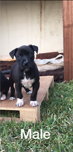 Kelpie x Bull Arab x Boxer Pups Muswellbrook Muswellbrook Area Preview