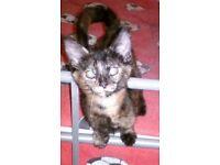 Lovely, friendly 10 week old kittens for sale £30 BARGAIN