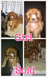 Cavoodle puppies McGraths Hill Hawkesbury Area Preview