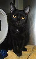 "Young Male Cat - Domestic Short Hair: ""Cubby"""