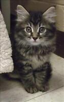 """Baby Female Cat - Domestic Long Hair: """"Trixie"""""""