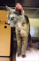 "Adult Female Cat - Domestic Short Hair: ""Forrest"""