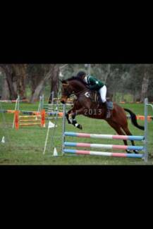 Tb x riding pony 15.3hh 11 year old ALL ROUNDER