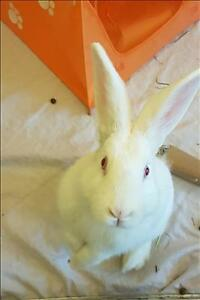 "Young Female Rabbit - New Zealand: ""Elfie"""