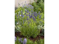 lavender augustifolia blue flowering shrub