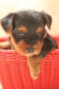 Beautifull Purebred Yorkie Puppies 2 Boys and 1 Girl Available