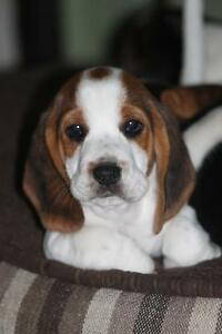 Sold out****Tricoloured Purebreed Beagle Puppies*****
