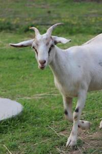 Beautiful goats for sale