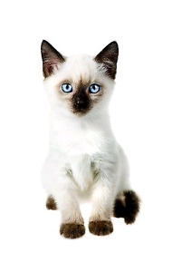 Looking for a siamese kitten