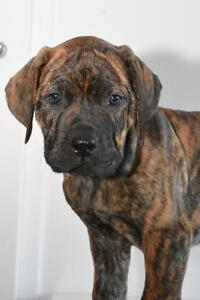 Mastiff ( puppies )