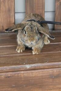 Dwarf Floppy Eared Rabbits