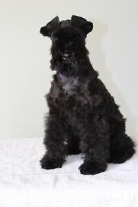 beautiful Rare Kerry Blue Terrier Puppies