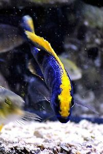 sulphur head cichlid for sale at T T PETS