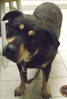 "Adult Female Dog - Rottweiler: ""Gertrude (Gerti)"""