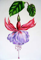 Botanical Drawing with Coloured Pencils
