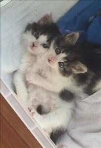 """Baby Male Cat - Domestic Short Hair: """"Pickle"""""""