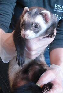 "Adult Male Small & Furry - Ferret: ""Banjo"""