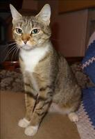"Young Female Cat - Domestic Short Hair: ""Boots"""