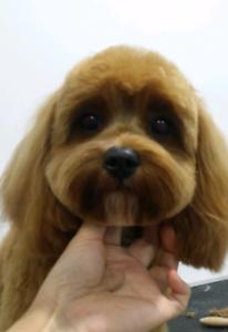 Ella's Designer Dogs in Sydney (Dog Grooming) -