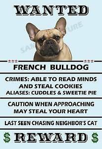 Wanted: Wanted - french bulldog puppy - male