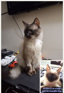 Wanted: MISSING/LOST Truganina Ragdoll X cat/kitten