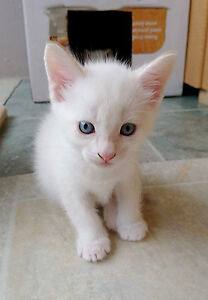 Adorable White Blue Eyed Bengal-Siamese-Ragdoll Mixed Kittens
