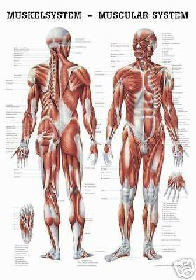 NEU Lehrtafel,Lehrposter: Das Muskelsystem des Menschen laminiert