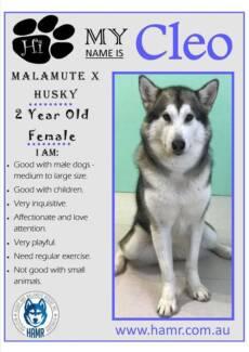 Husky x Malamute looking for adoption.