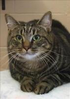 "Young Male Cat - Domestic Short Hair: ""Austin"""