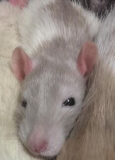 Wanted: Looking for rats