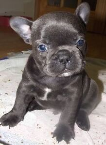 Frech Bulldog - beautifull puppies