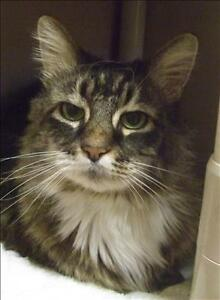 "Senior Female Cat - Domestic Long Hair: ""Kit"""