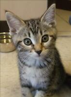"Baby Female Cat - Domestic Short Hair: ""Pixie"""