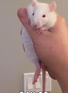 """Young Male Small & Furry - Rat: """"McCartney"""""""