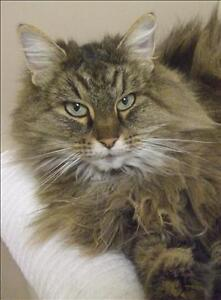 "Adult Female Cat - Domestic Long Hair: ""Little One"""