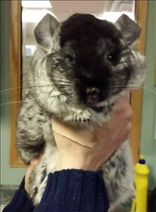"Adult Female Small & Furry - Chinchilla: ""Olive"""