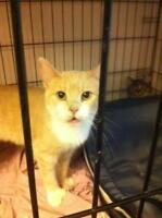 Young Female  - Domestic Short Hair - orange and white