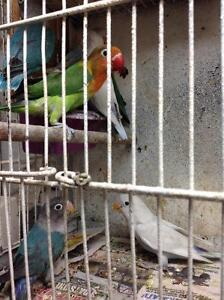 LOVEBIRDS FOR SALE 10 FISCHERS AND BLACK MASK