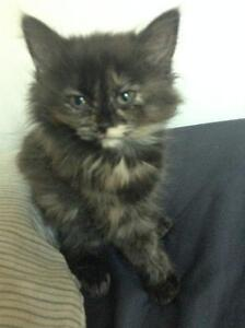 Cute Black Kitty FOR SALE!